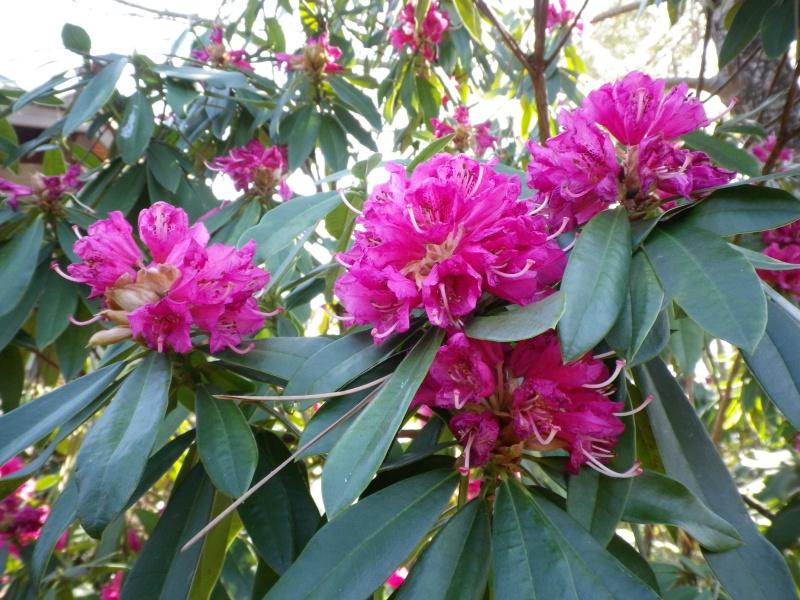 Quelques floraisons 502754RhododendronIMGP2553