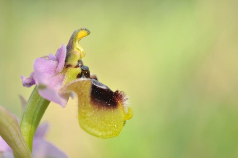 La 93ème espèce du Var : Ophrys tenthredinifera 511224DSC0297