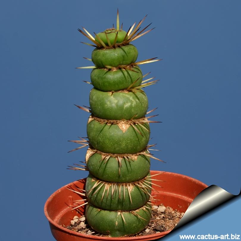 [Eulychnia castanea] Cactus rare amusant 512348Eulychniacastaneaformavarispiralis