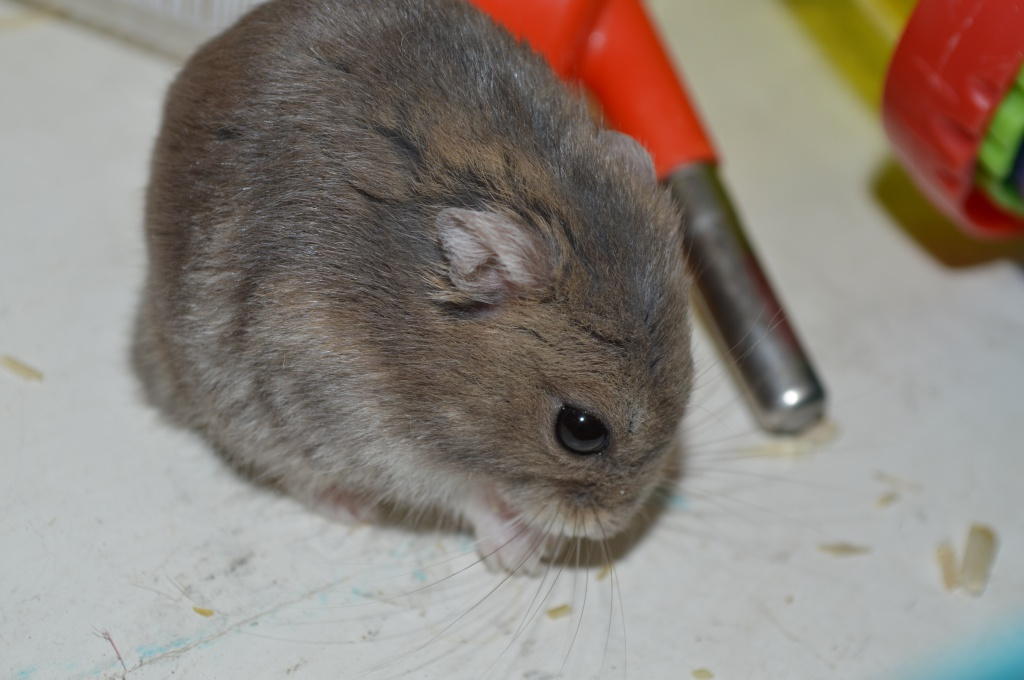 Couleur de cette hamster.. 523599DSC0869