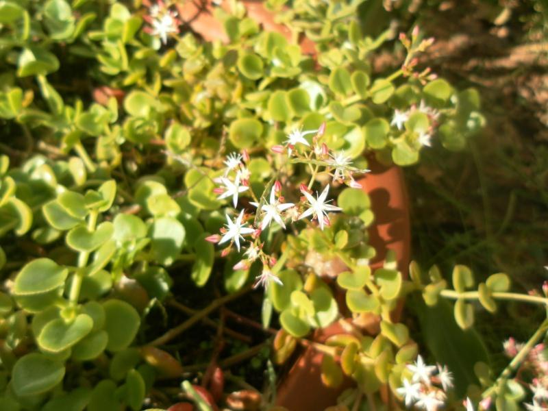 crassula spathulata 539013SAM2354