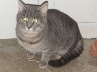 ASTRID la timide ( chatte à adopter) 544097ASTRID