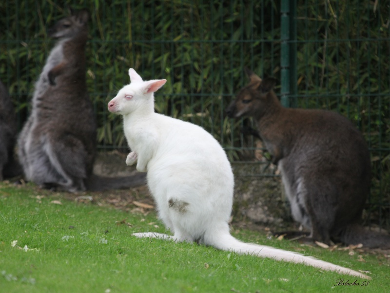 Kangourou  blanc  547095albinosBibiche