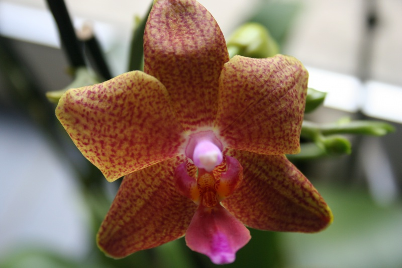 phalaenopsis cuivre bouddha 551613IMG8816