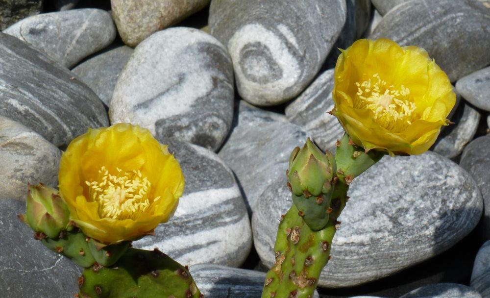 Opuntia humifusa en fleur 552667Opuntiahumifusa001