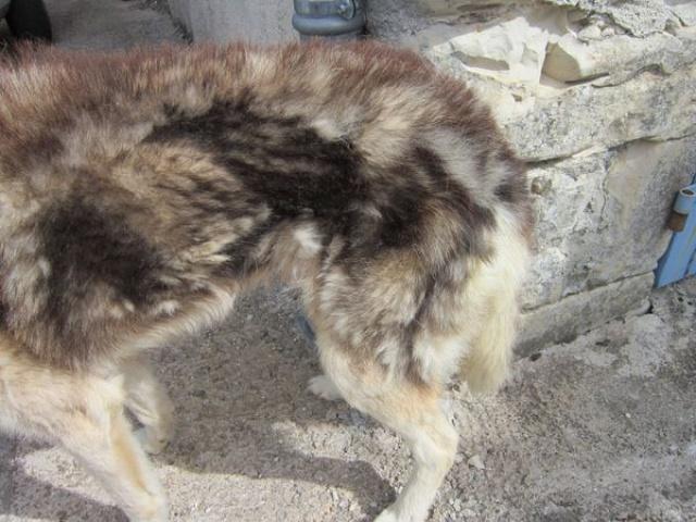 ALASKA (ex)LOUIS husky a l'attache depuis des années (m) 8 ans ref/79DECEDE     555986IMG3266
