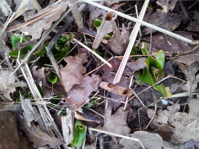 lys nains ( Tricyrtis hirta) - Page 6 55948120150320165120