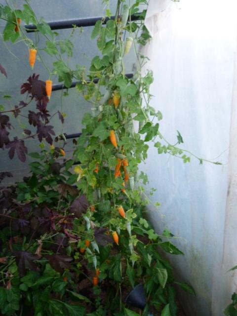 Hibiscus acetosella  565826P1050293