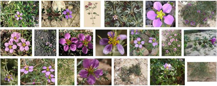 Les fleurs (ou plantes ) contre le cancer. - Page 2 570665imagesfagoniacretica