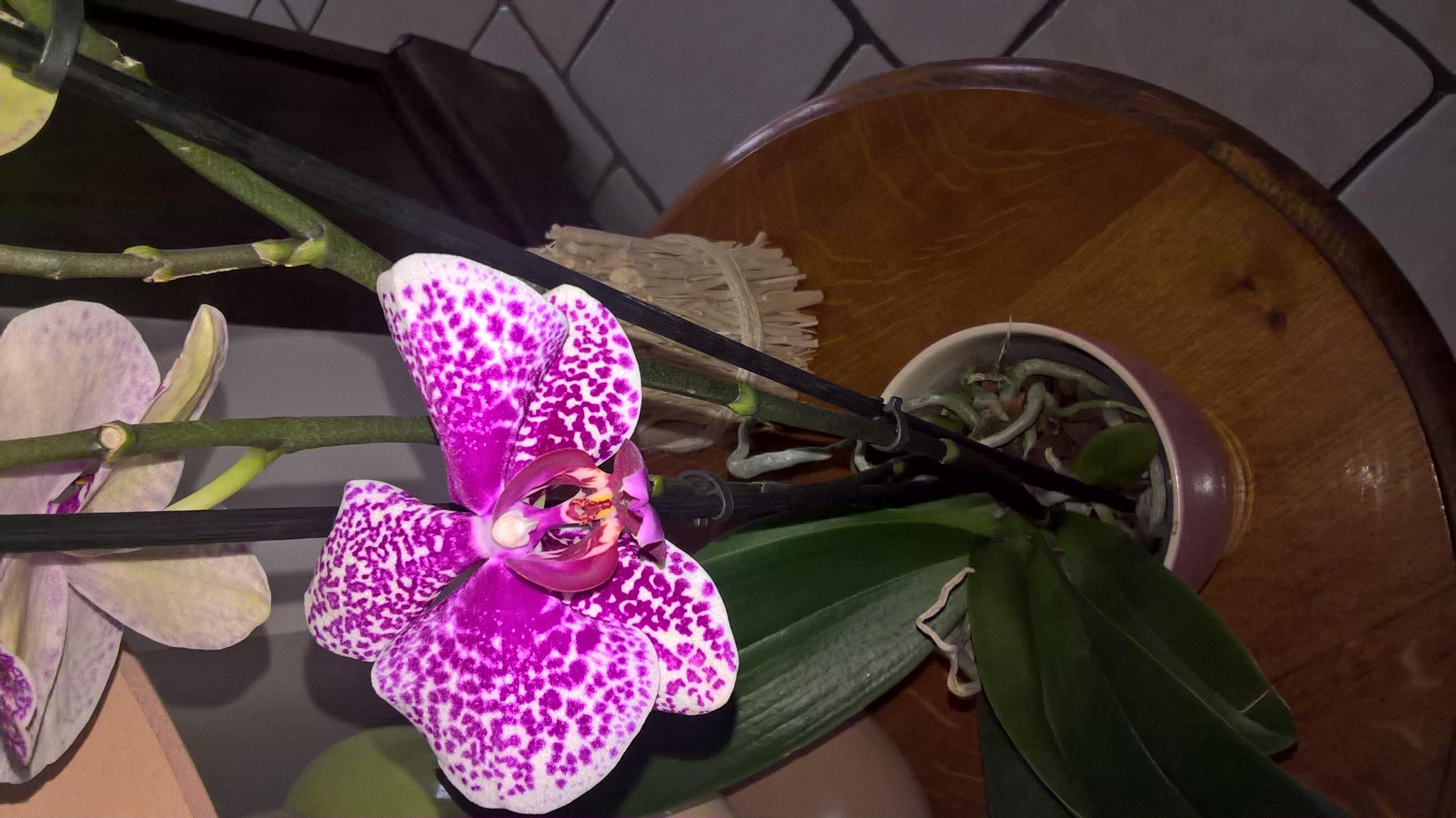 les orchidées d'Edith 574987fleur3