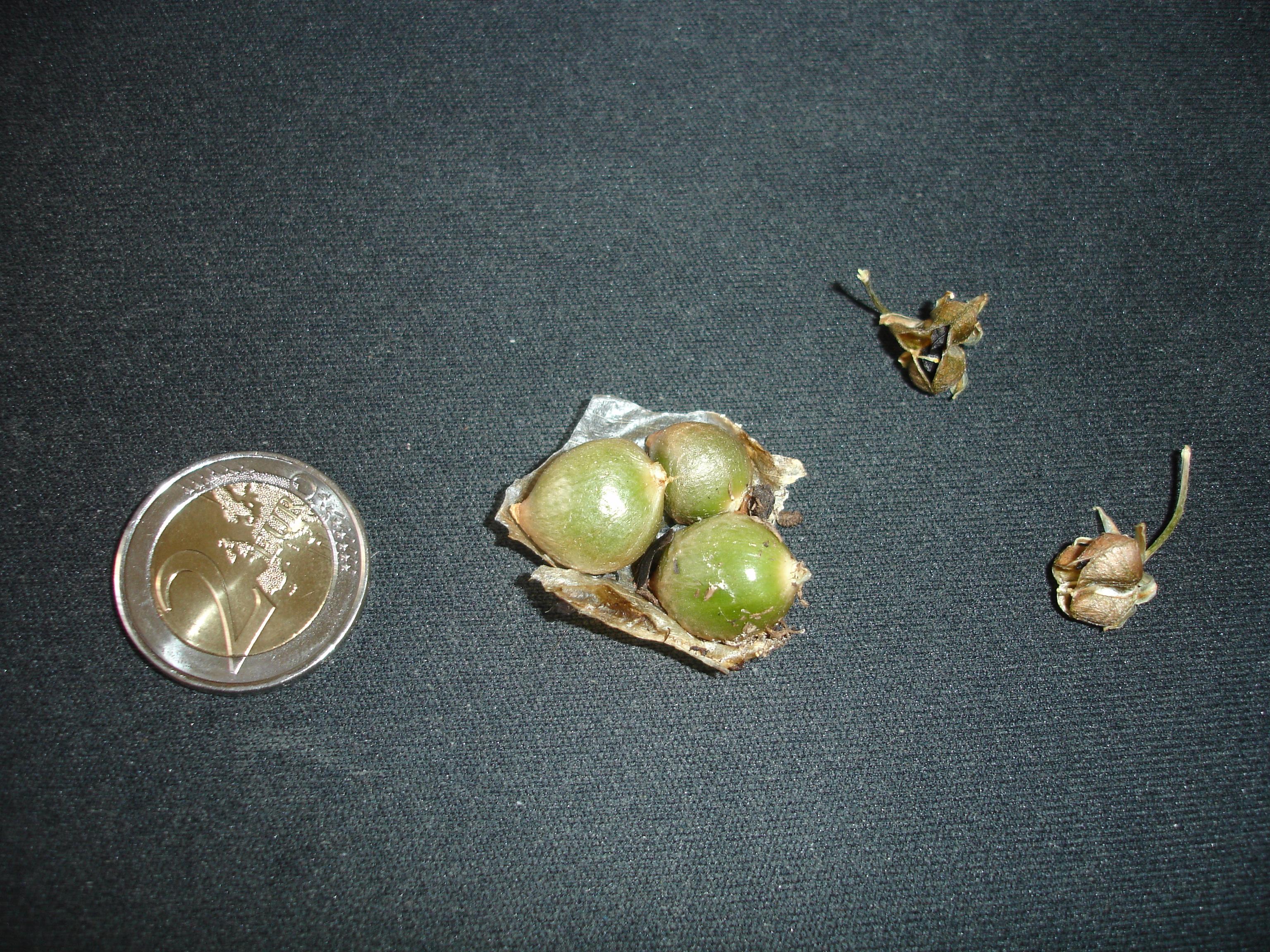 Ornithogalum caudatum 575539Ornithogalumcaudatumbulbillesetfruits2copie