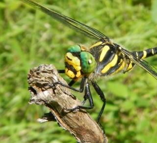 Jeux des insectes fossilisés 2 578691DSCN2459Copie