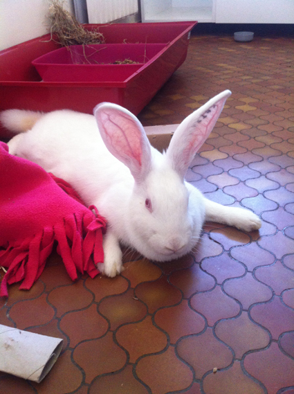 [ADOPTEE] Apple, lapine de laboratoire  579754AppleDimanche1