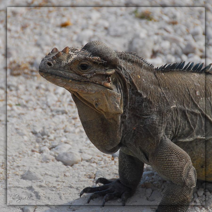 [Fil ouvert à tous] Reptiles, serpents, tortues, amphibiens, ... 586037iguane1