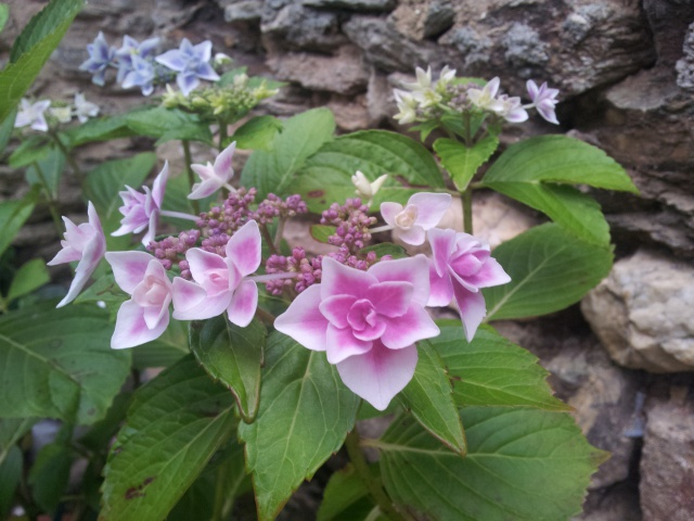 hortensia - Page 31 58980420160713194614