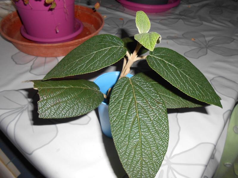 Quel est son nom ? viburnum rhytidophyllum. 590737DSCN0815