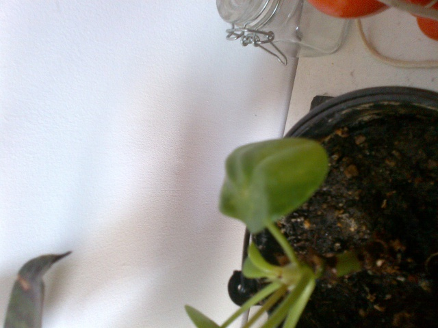 probleme pilea peperomioides 592042IMG2013032300922