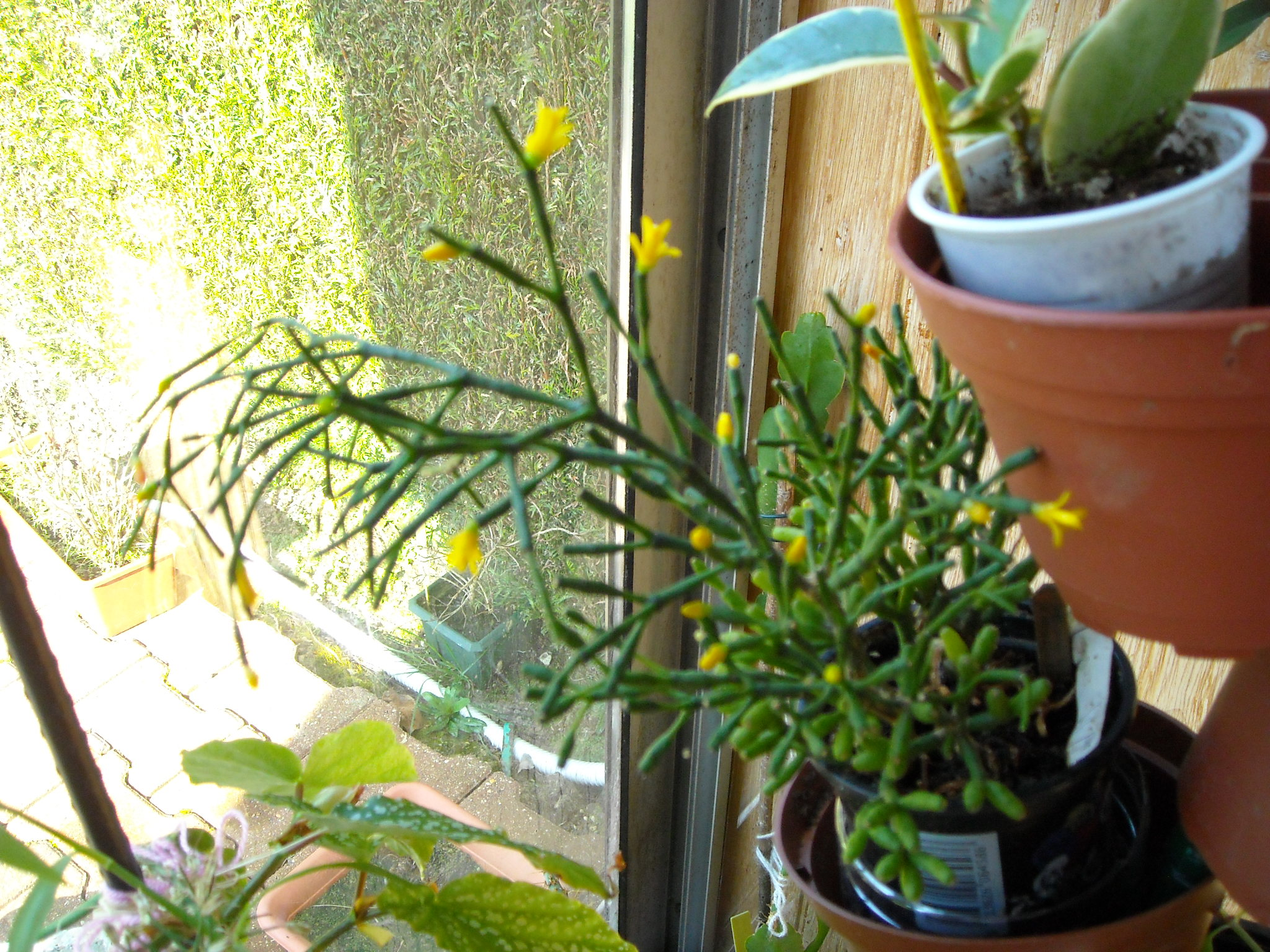 un aperçue de mes autres plantes 595979plantegrasse001