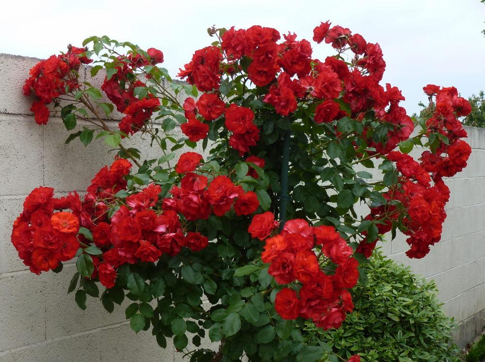 quelques plantouilles au jardin... 598112331