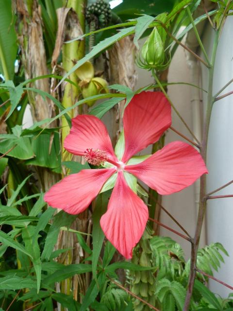Voici mes quelques hibiscus en fleurs - Page 2 599621P1050142