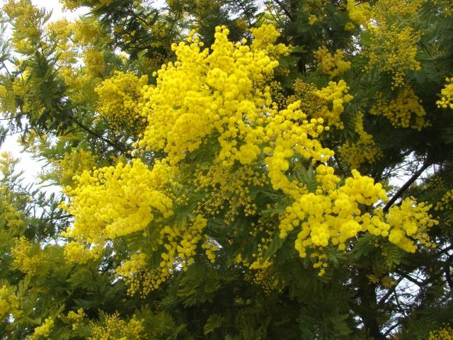 ça commence a fleurir...(Mimosa, Acacia dealbata) - Page 4 601605DSC05228