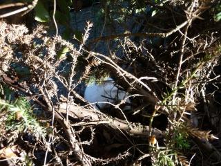 Nina, lapine bélier, née en aout 2011 - Page 8 601793P1140984