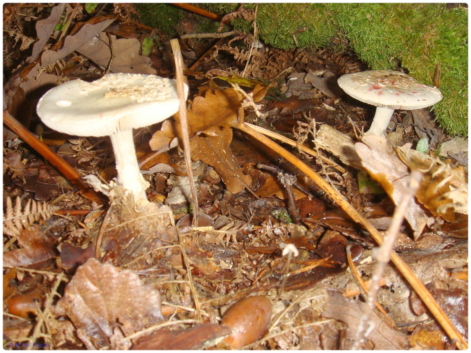 [fil ouvert] les champignons - Page 5 606259DSC011449
