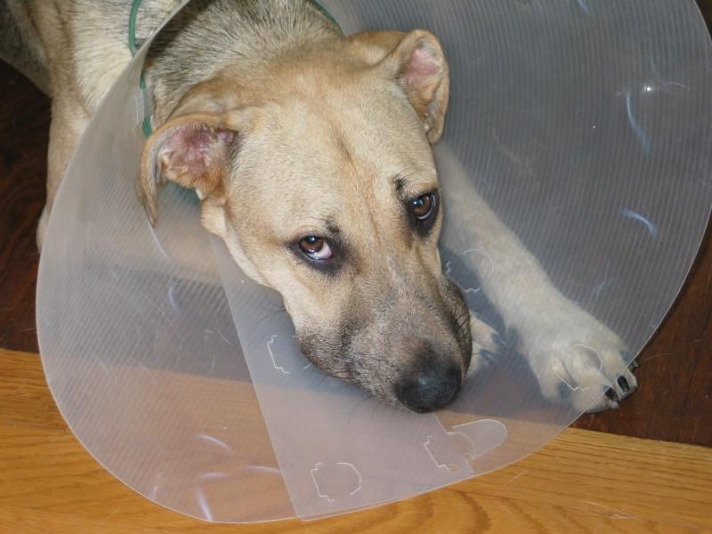 Lila, adorable chienne croisée, née en octobre 2011 612095IMG9476Copie