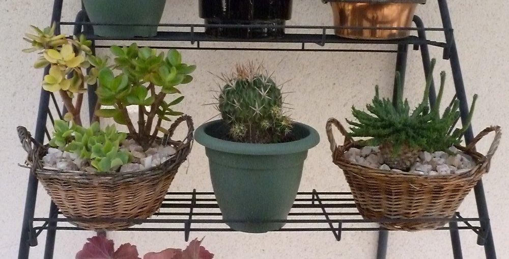 haworthia limifolia 616167P1000724