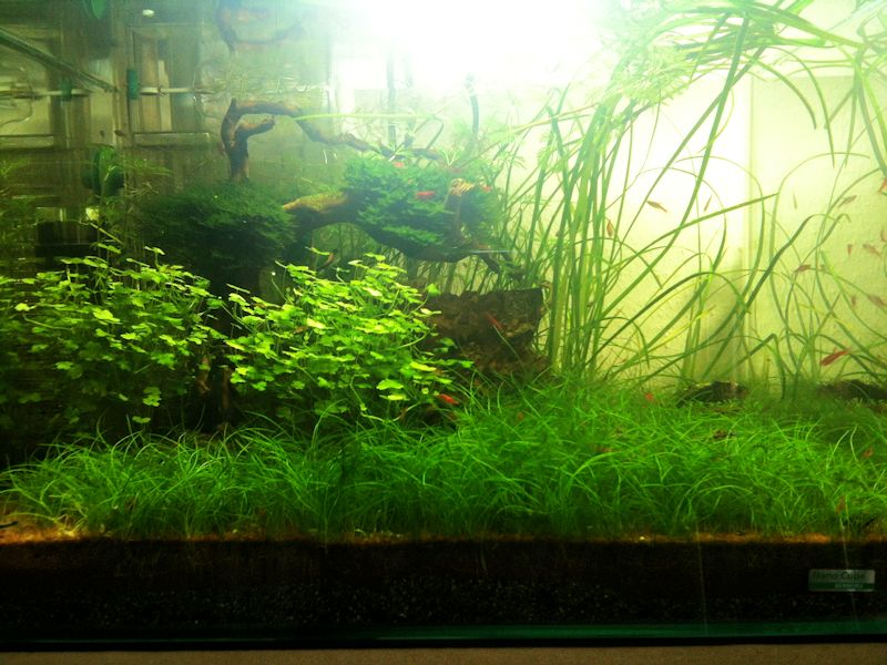 Mon Scaper's Tank 50L Aquascaping - Page 2 622099IMG0694
