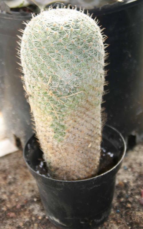 Bouture Mammillaria 626208mammidanssonpot