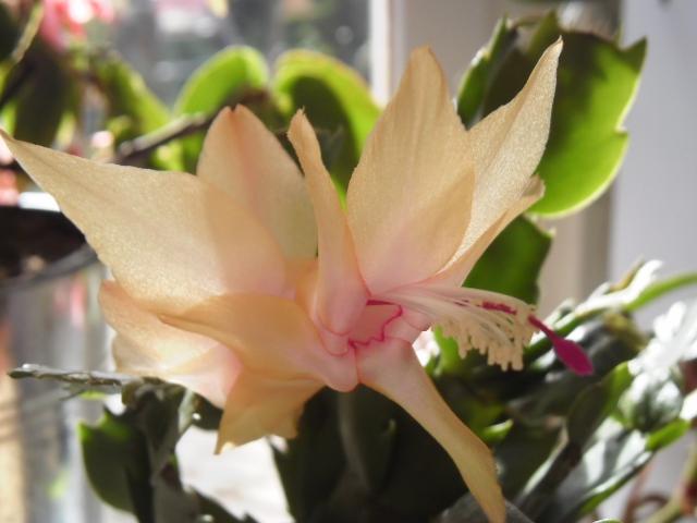 Floraisons Schlumbergera (Cactus de Noël) 629510s4aaa