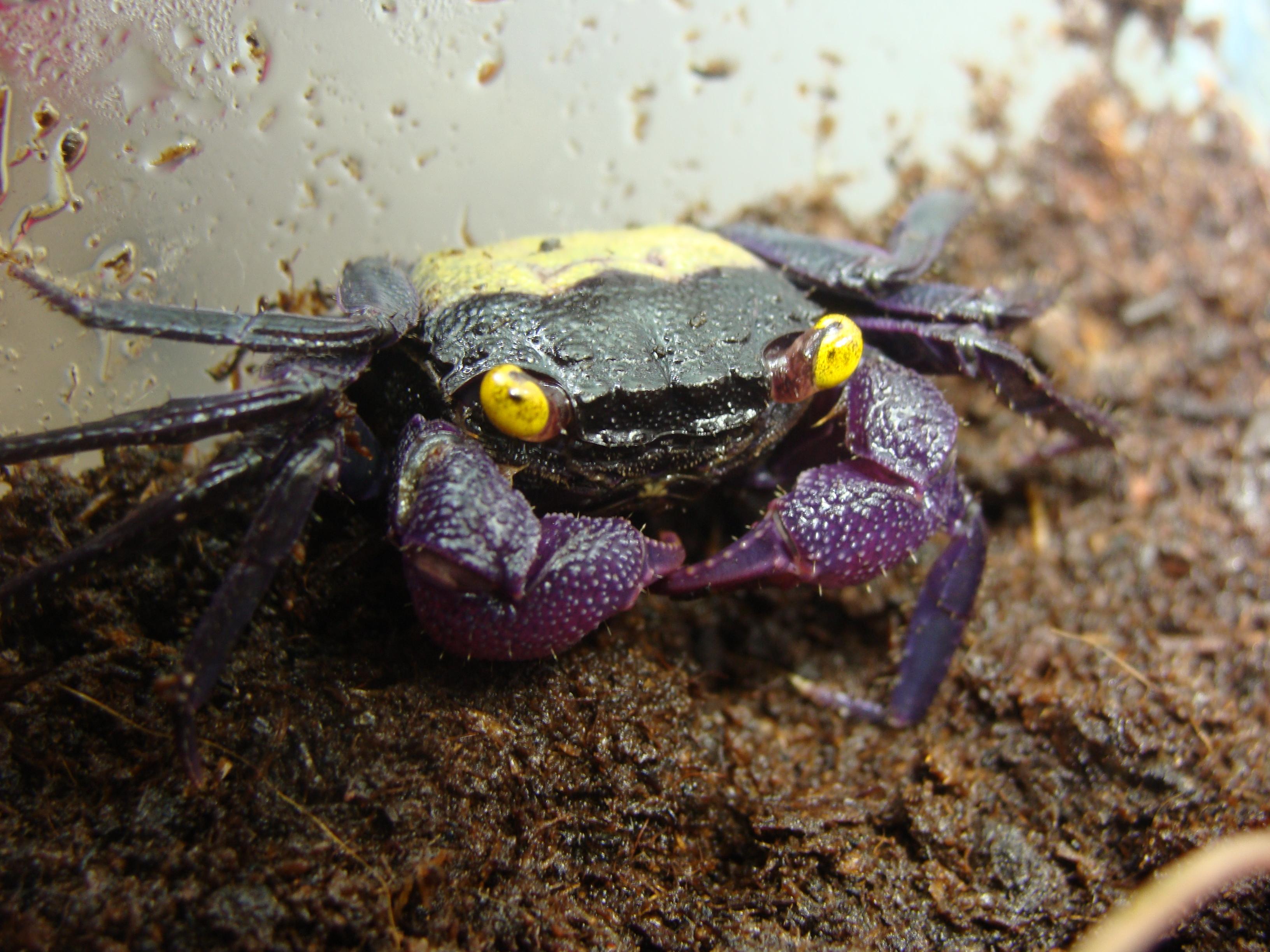 Naissance de bébés crabes vampire - crab vampire - geosesarma sp 632516DSC08868