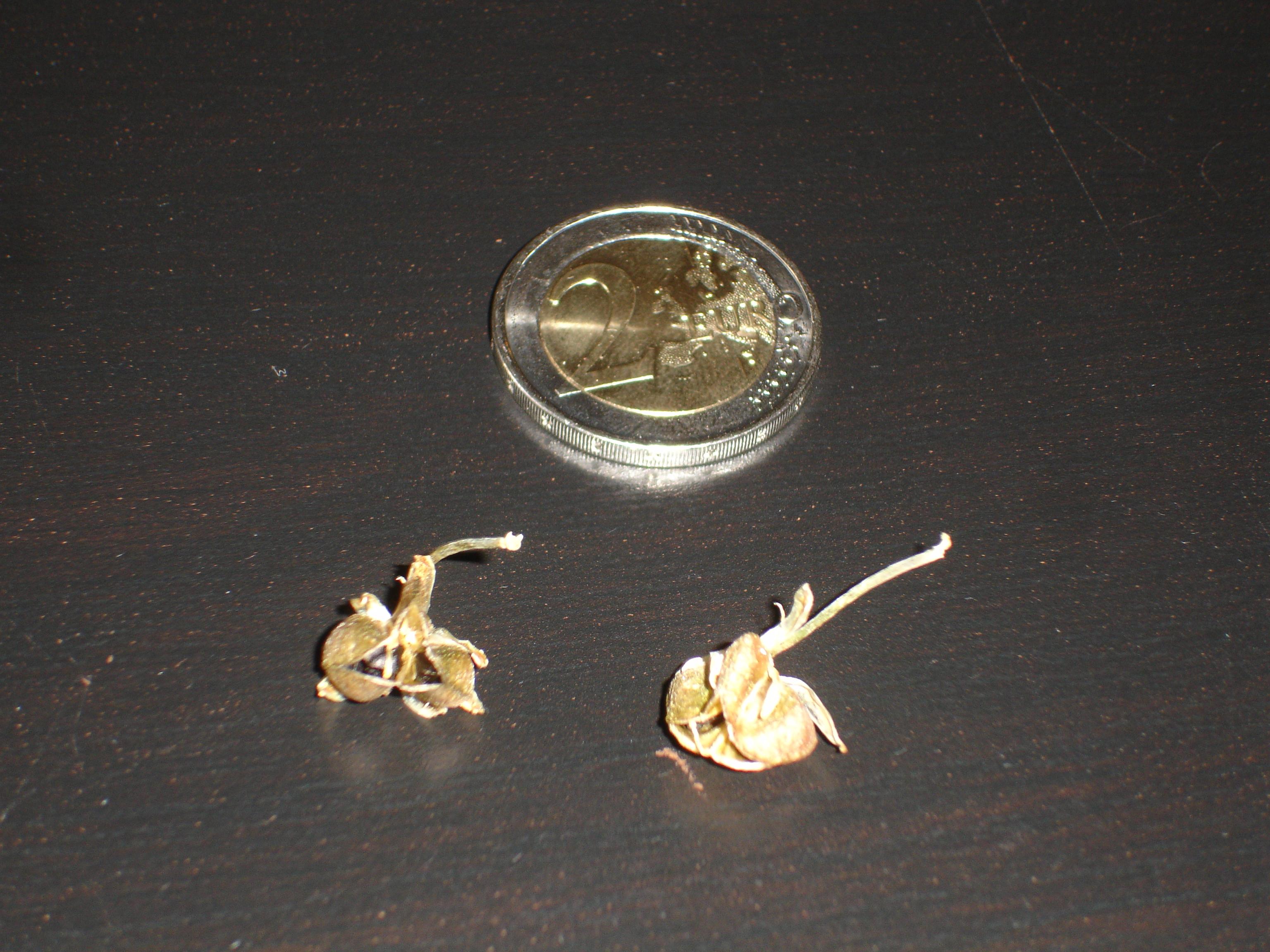 Ornithogalum caudatum 633952Ornithogalumcaudatumfruits2copie