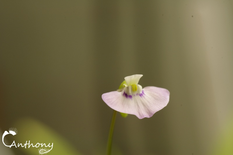 Utricularia Uniflora 637528IGP4812