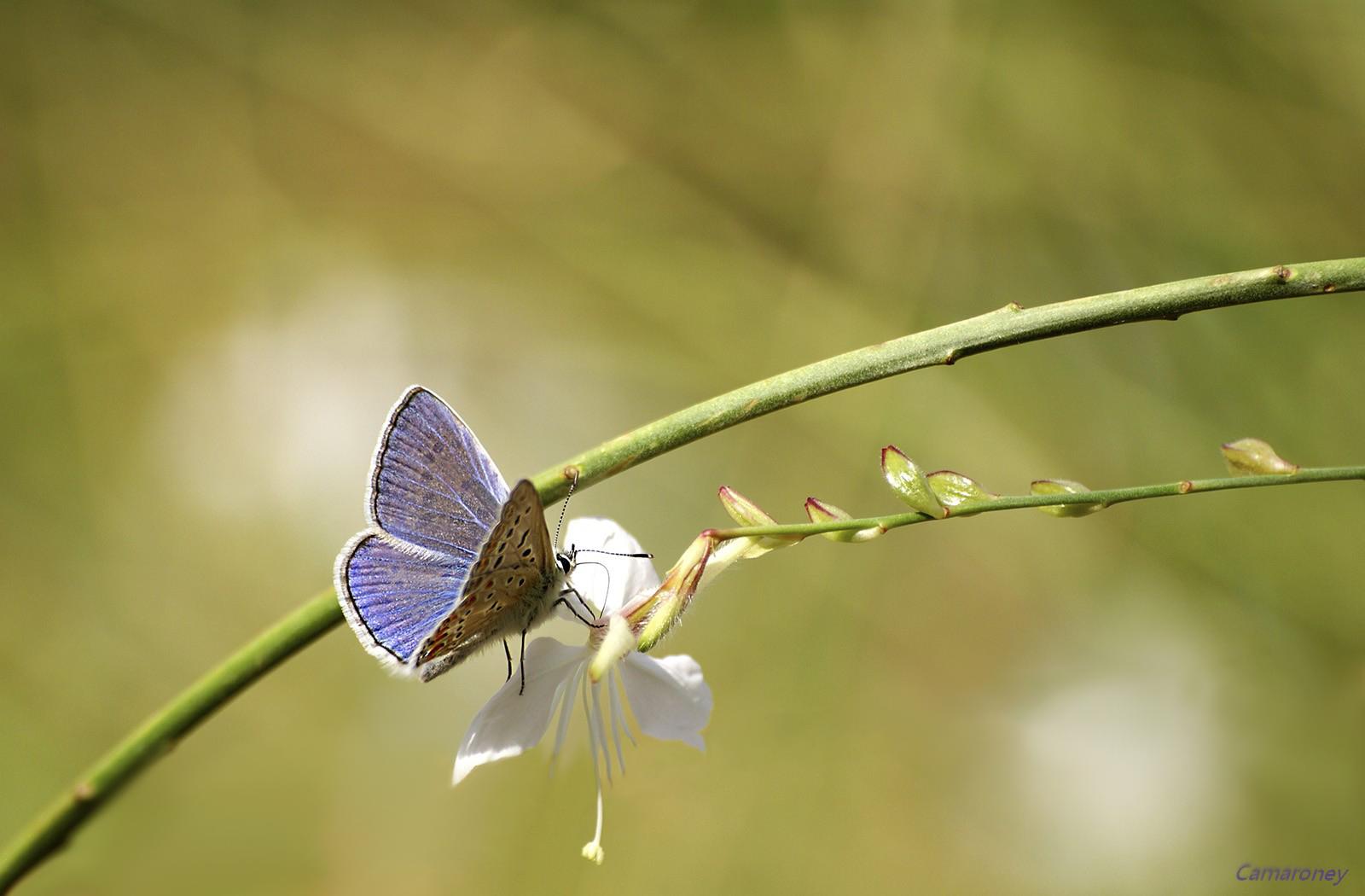 L'argus et autres papillons  mise a jour du 04.04.2019 ( camaroney ) - Page 2 642721bruno