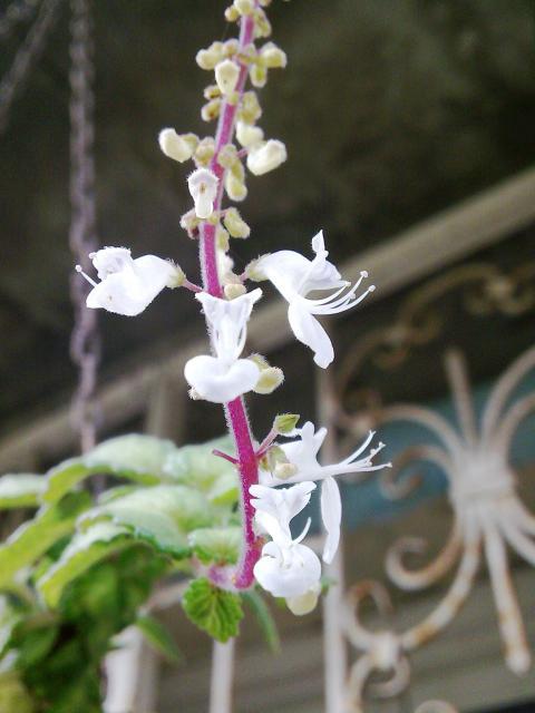 Floraisons de novembre 6441991.plectranthus_variegata
