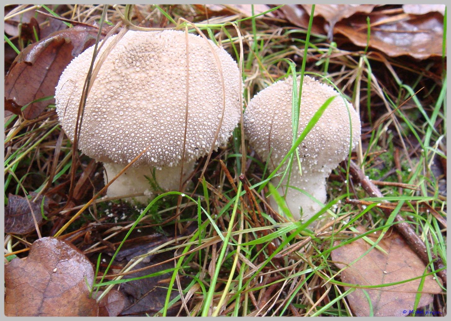 [fil ouvert] les champignons - Page 5 644235DSC011523