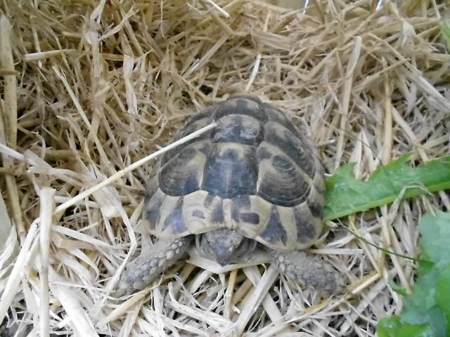 inquiet pour tortue hh 646502DSCN0216