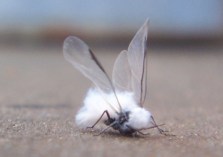petit insecte volant non identifié ! 653126insecteblanc