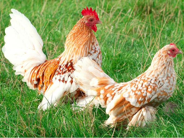 Nos poules d'ornement, des nouveaux P2 660014sabel