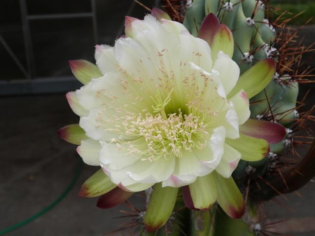 cactus - Page 2 670894P1200408