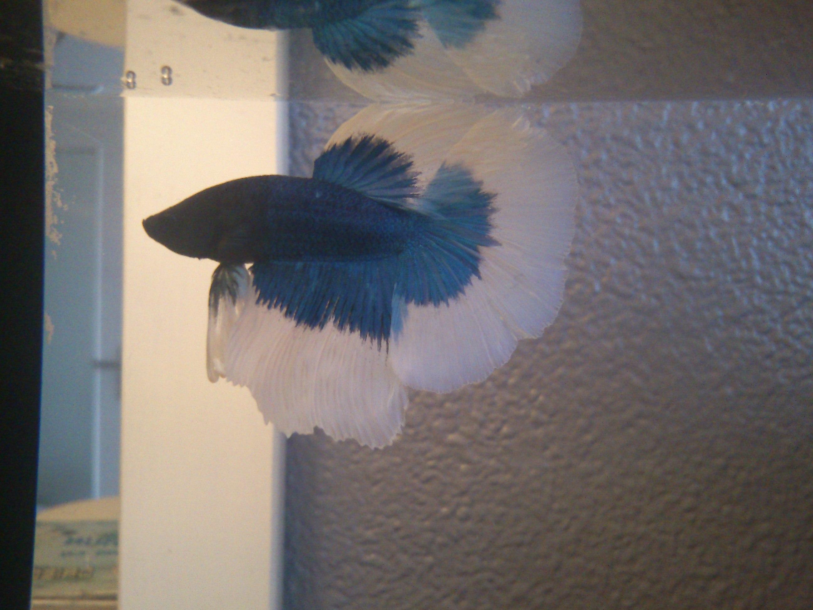 Mon nouveau Betta bleu et blanc 671913DSC0549