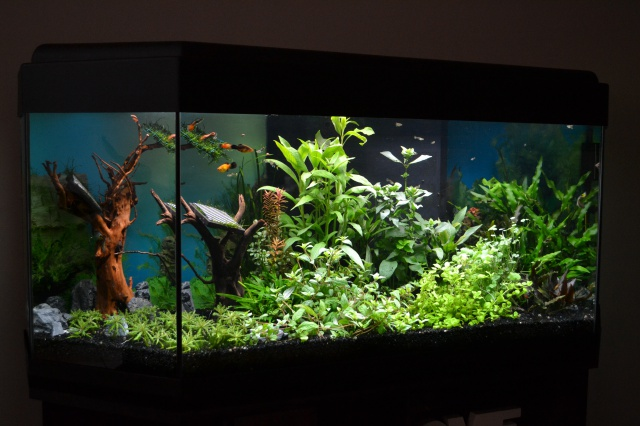 MES AQUARIUMS 240 L Communautaire et 30 L Aquascape + photos - Page 3 6764834214