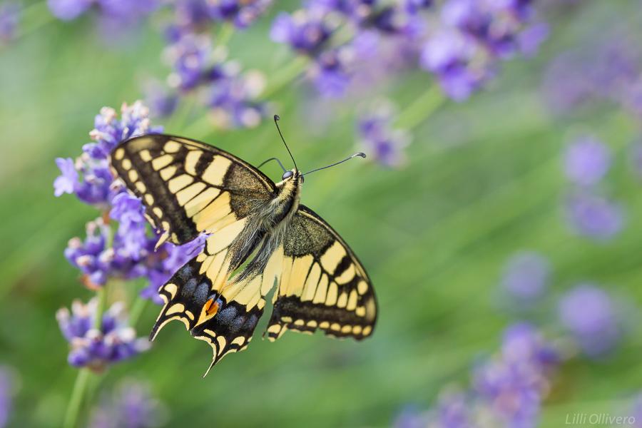 Papillon Machaon 679219EL7A96151