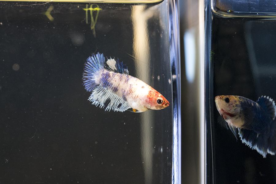 Angie, Jude, deux femelles marbrés de chez Nath :) 681296DSC06942