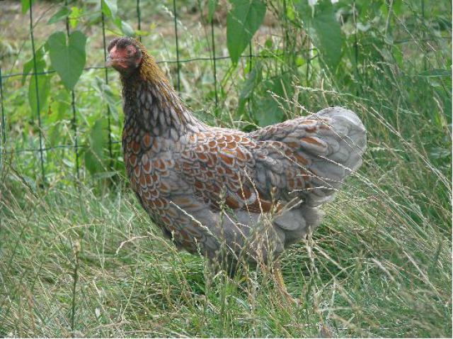 Quelques photos de races de poules 6853801