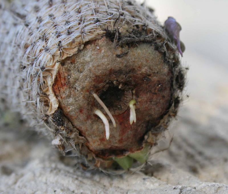 Bouture Mammillaria 688438racinesnaissantesjpg