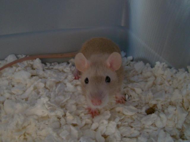 Entrée dans le monde des rats avec ces deux ptits ratous ! (NEWS 24/02 688637DSC00409