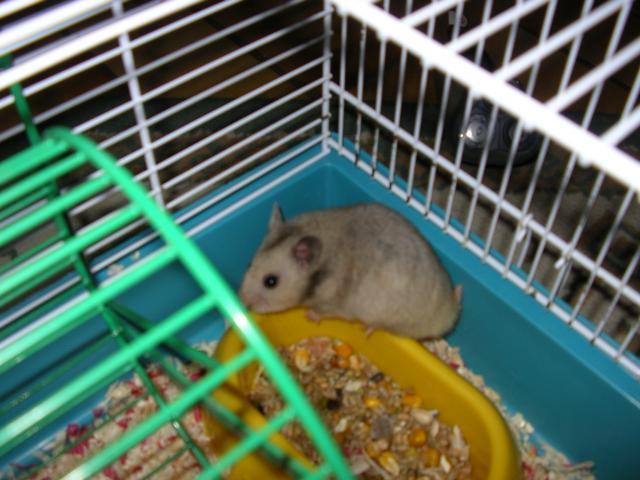 [ESPÈCE] Le hamster Syrien 692777IMGP0563